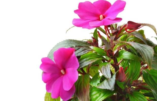 Kućne biljke koje pročišćavaju zrak