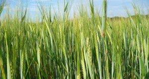 ječmena trava