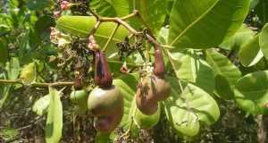 Indijski oraščić – ljekovitost