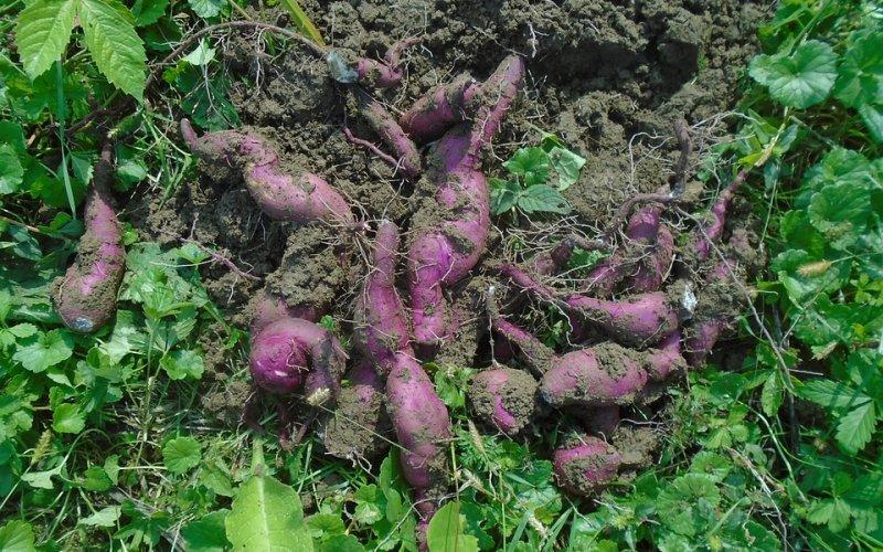 Uzgoj batata