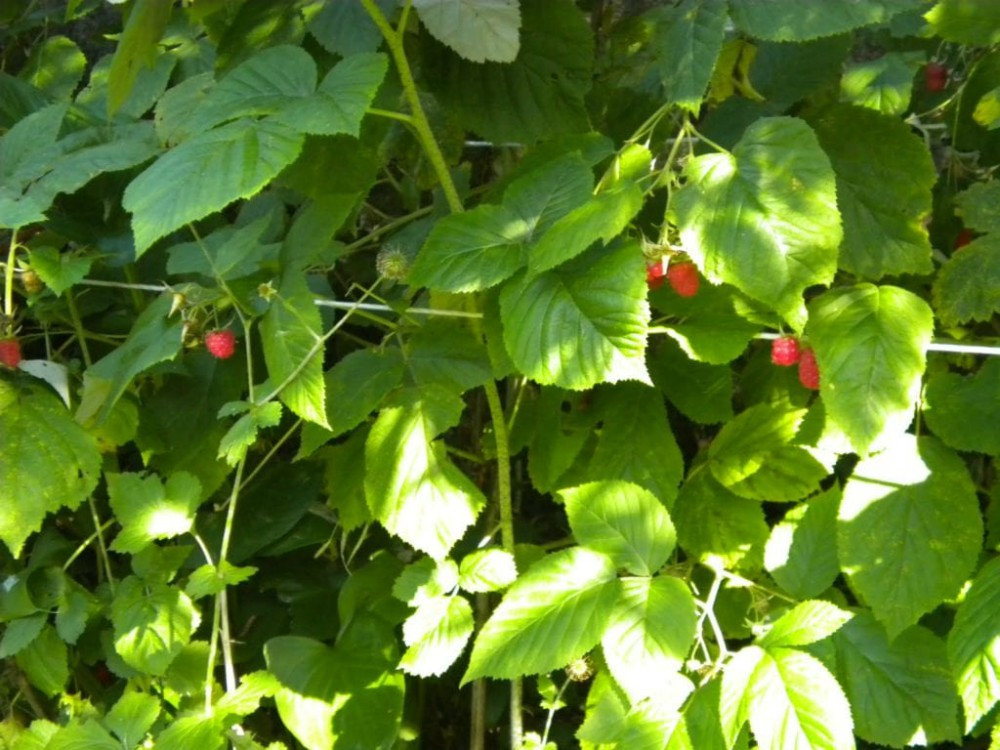 image of raspberry bush