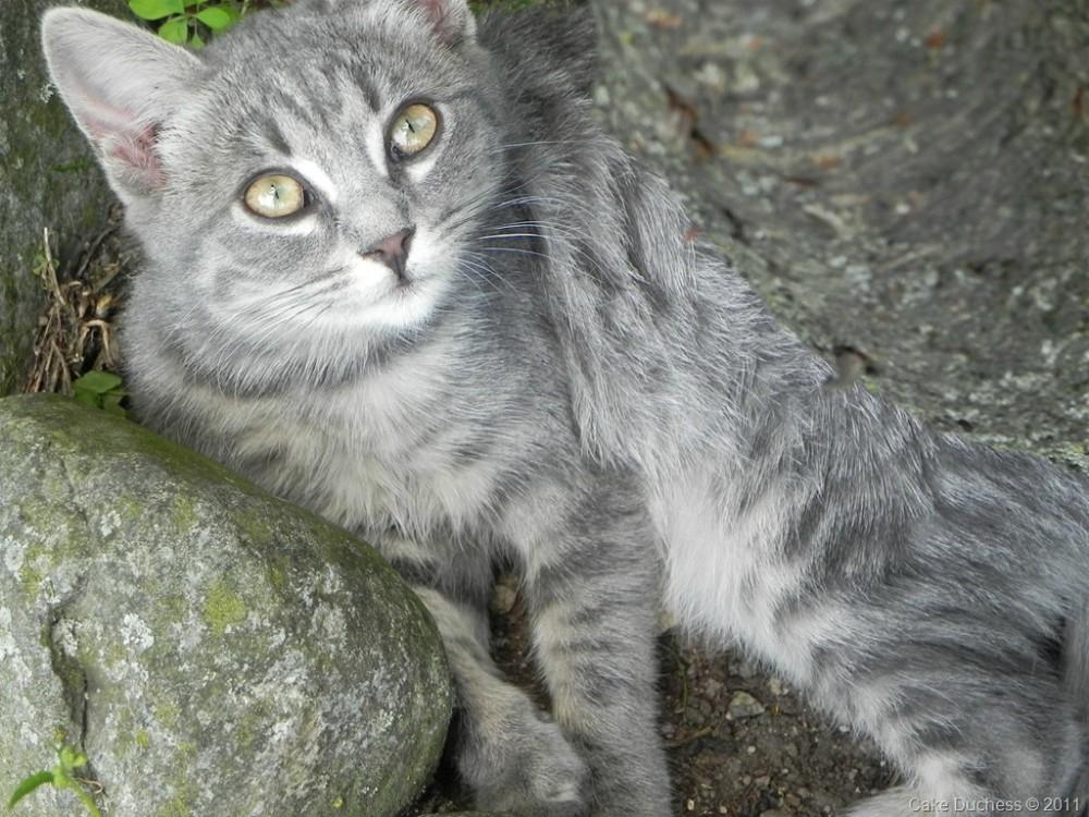 image of grey cat