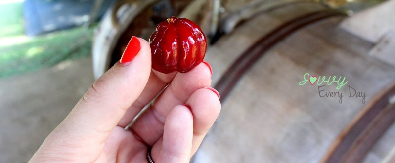 chinesecherry