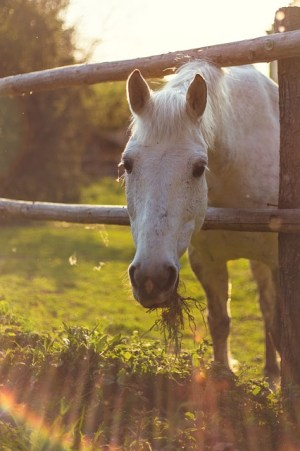 Feeding Coconut Oil to Horses, Natural DIY Horse Care by Savvy Horsewoman