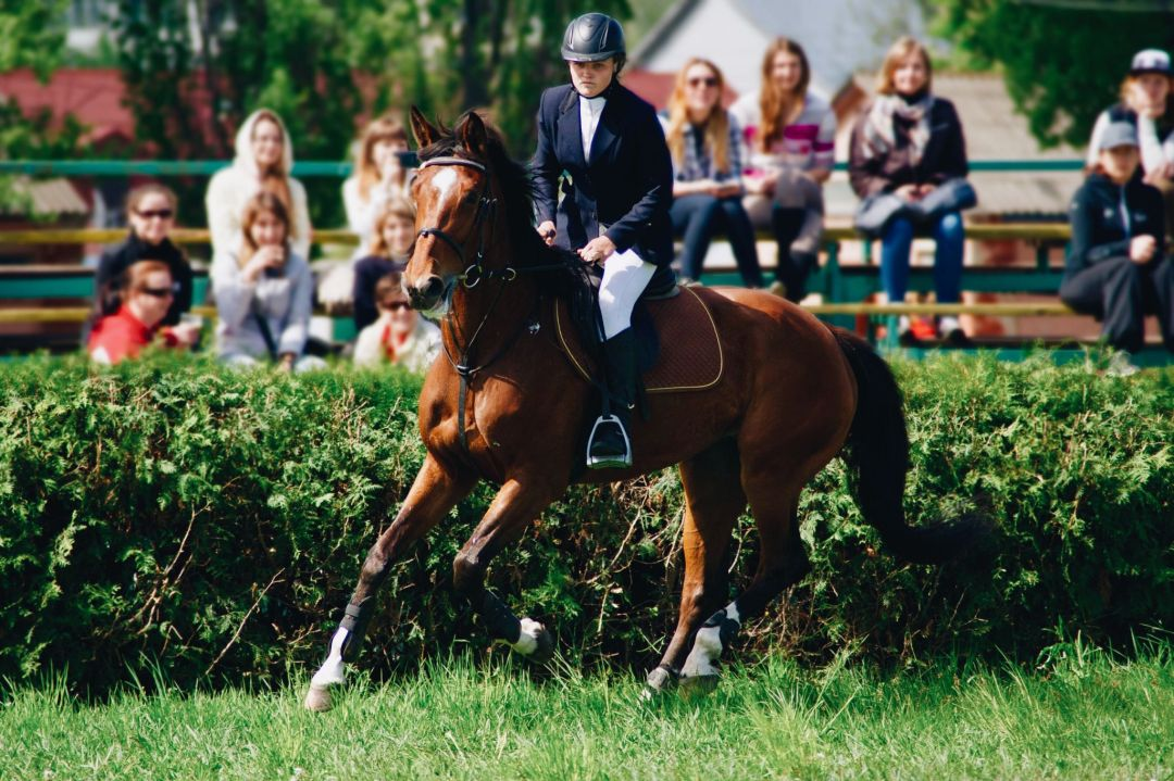 American Warmblood - Common Horse Breeds in America