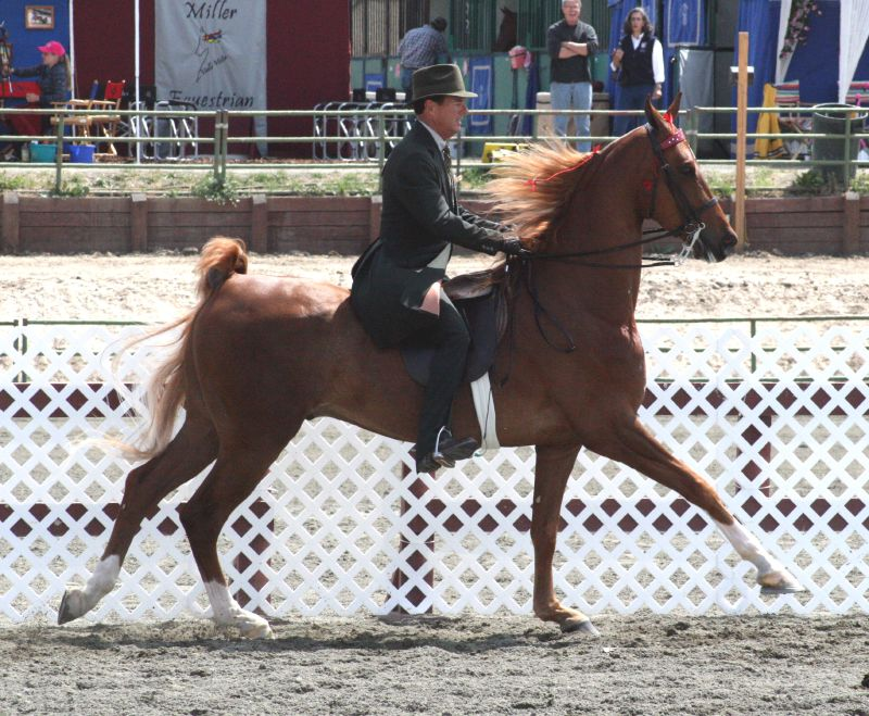 American Saddlebred - Common Horse Breeds in America