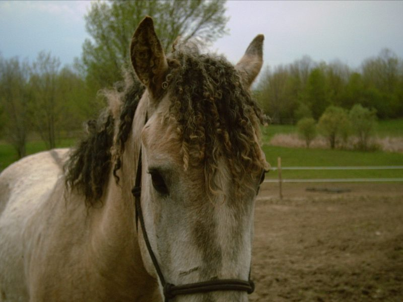 American Curly Horse - Common Horse Breeds in America