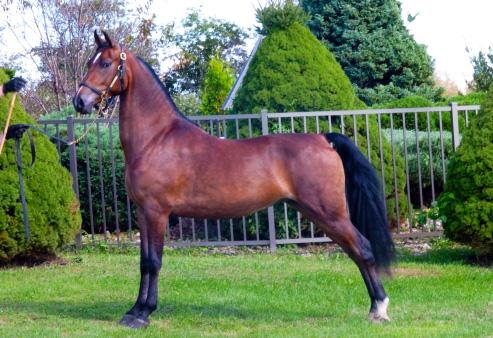 Morgan - Common Horse Breeds in America