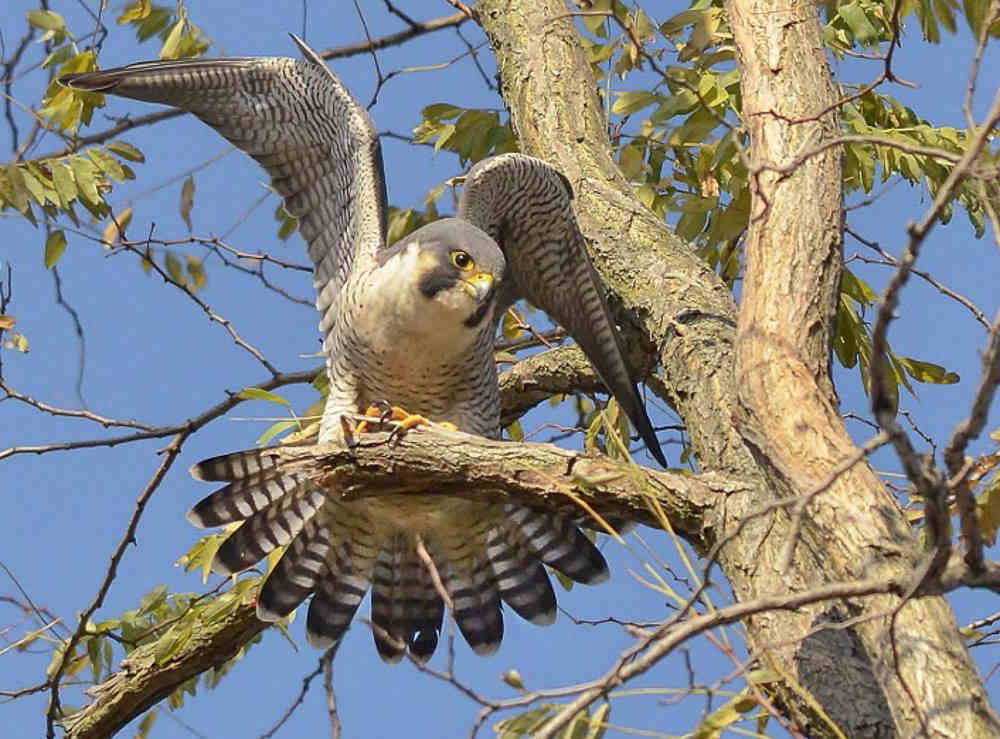 Peregrine Falcon at Croton Point Park. Photo: Jeffrey Seneca