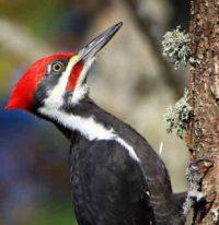 Pileated Woodpecker. Photo: Suzanne O'Rourke