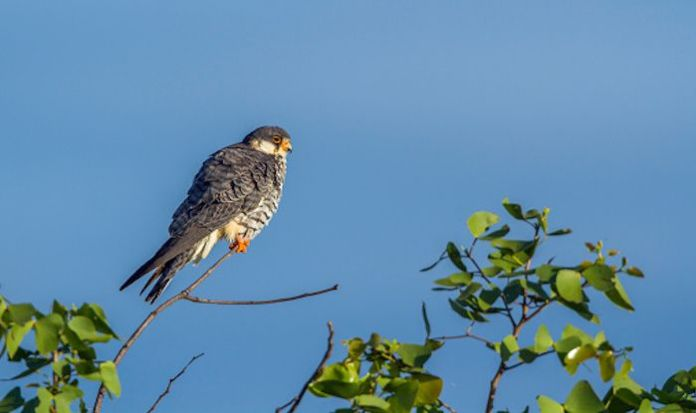 This Diwali Head For The Amur Falcon Conservation Week and Festival in Nagaland