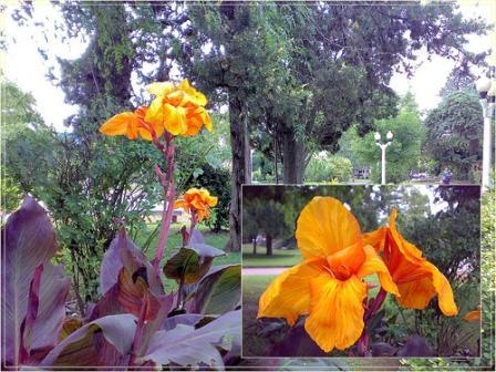 Цветок канна индийская: уход, сорта канн, фото. | Сажаем Сад