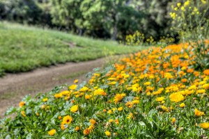 Santa Ynez Valley wildflowers