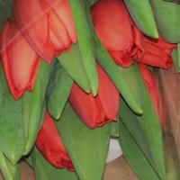 Come piantare i tulipani