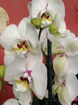vendita online orchidea phalaenopsis