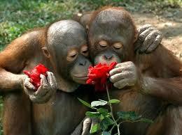 Gorillas smelling roses