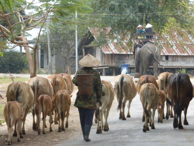 Lak Lake, cows end elephants