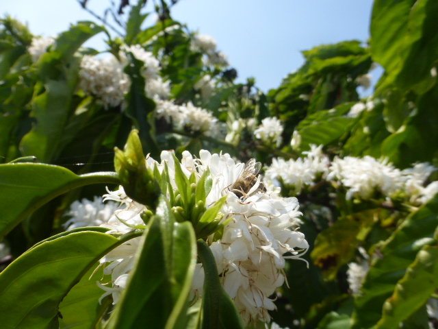Lak Lake coffee blossom