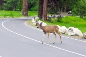 Avoid Animals on the Road & Auto Insurance Scotia NY