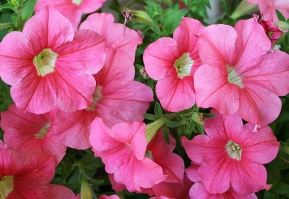 8 piante fiorite gradevolmente profumate guida giardino for Petunie perenni
