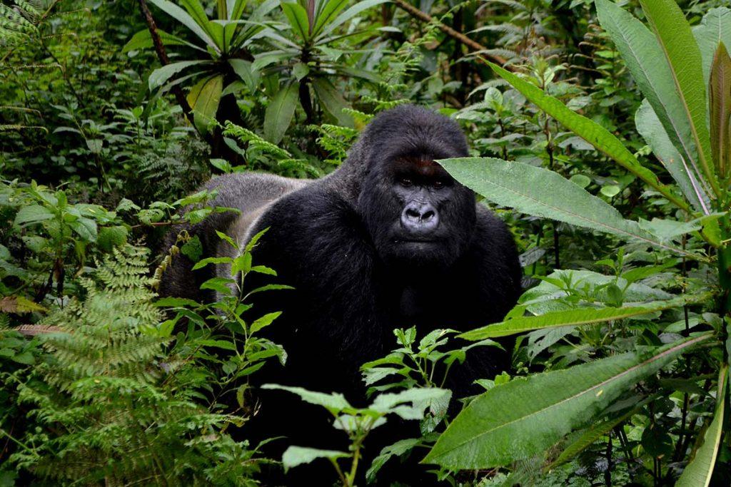 Gorillas & Wildlife Safari- Uganda Gorilla Trekking