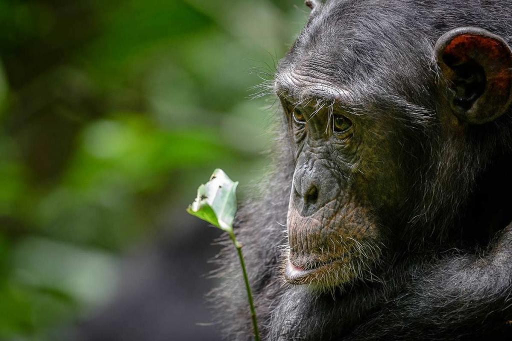 chimpanzee trekking in Kibale