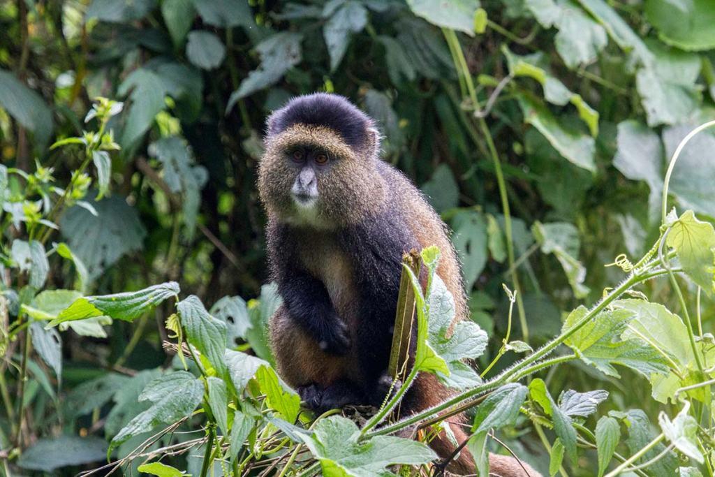 Mgahinga Golden Monkey Trekking