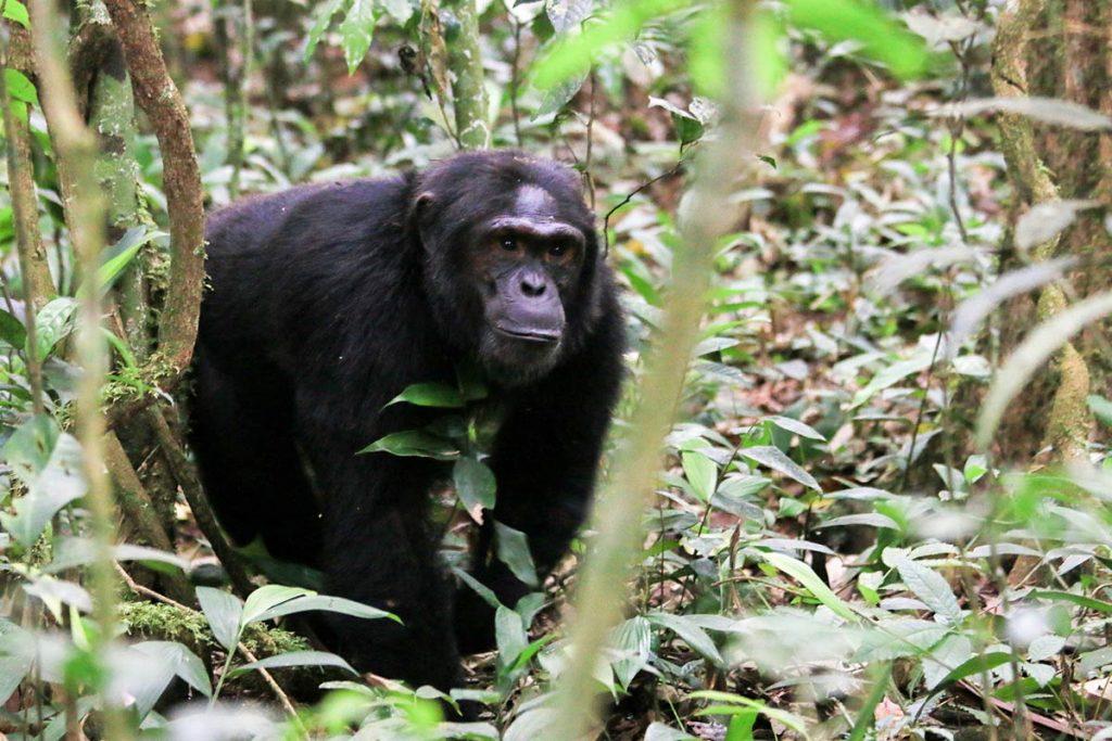 Wildlife & Chimpanzee Safari