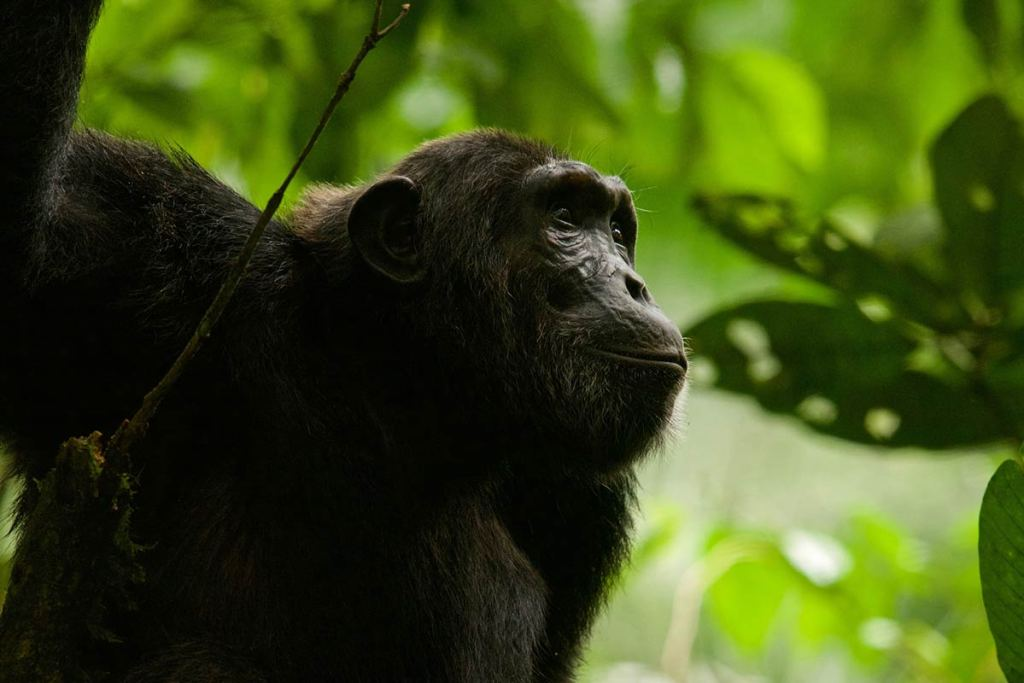 chimps trekking in Uganda, Kibale Forest