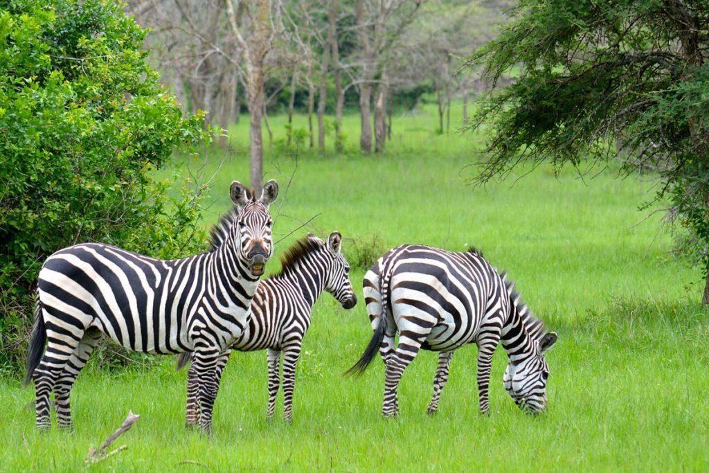 Gorillas & Wildlife Safari- Wildlife & Chimpanzee Safari