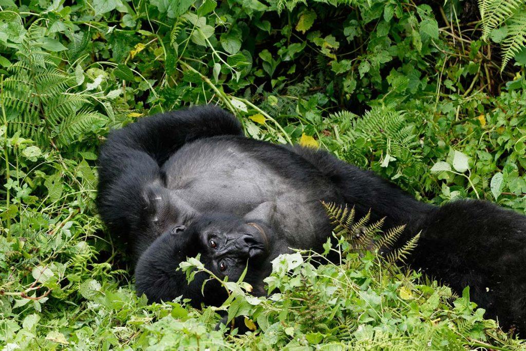 Gorilla Trekking & Chimpanzee Safari