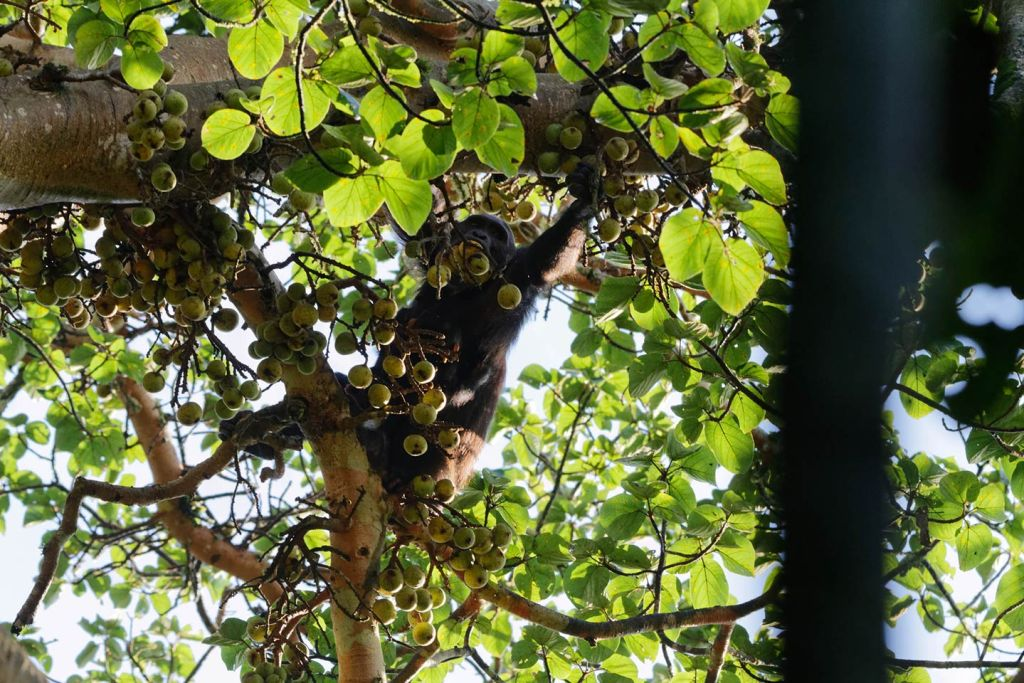 chimps in trees
