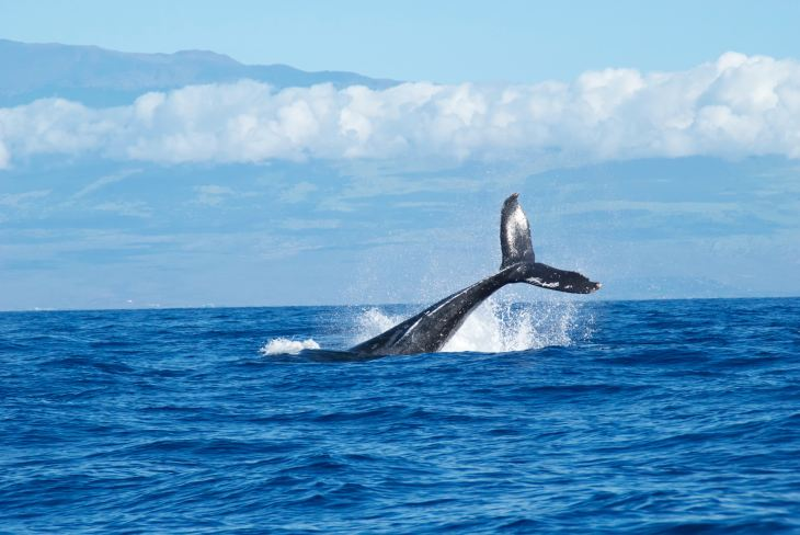 Whale Watching Maui, Activities in Maui, Plan a Trip to Maui, Maui Travel Expert