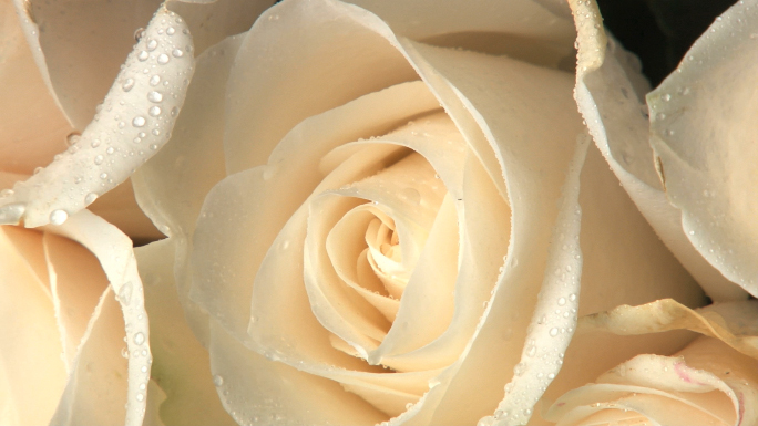 White Line Fragrant Trilogy: Milieu Rosa by Odin