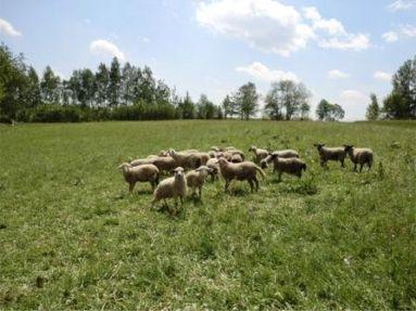 Schafe_auf_Weide