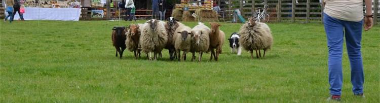 Demostratie schapendrijven