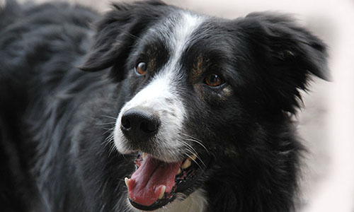 border collie chimo