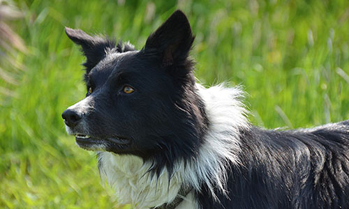 border collie djeff