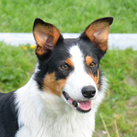 stamboom-chip-bordercollie