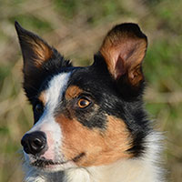 chip border collie