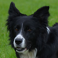 stamboom-lad-bordercollie