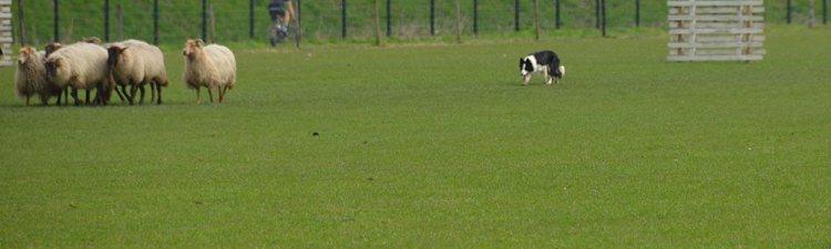 summer bordercollie schapendrijven