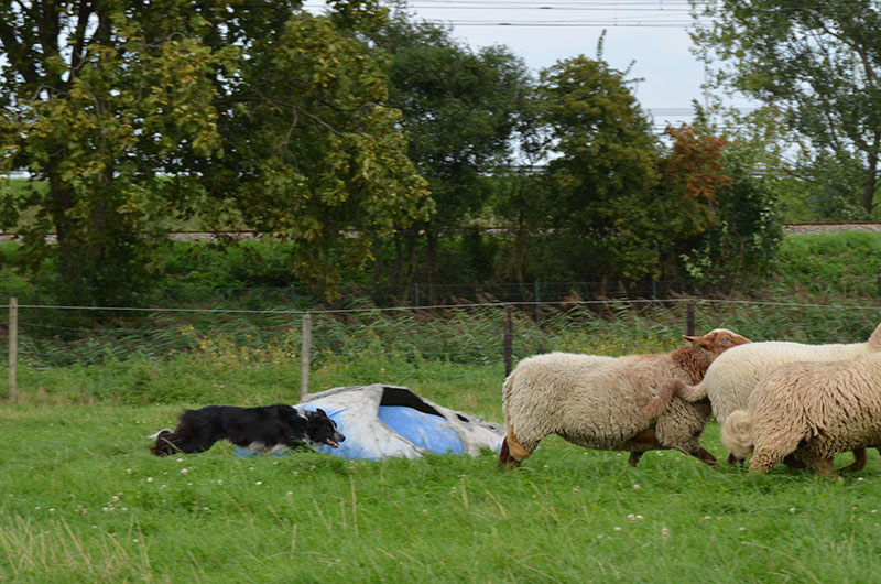 schapendrijven_lizzy