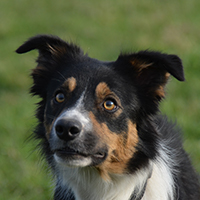 border collie kyra