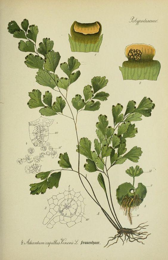 Illustrazione di una pianta di prezzemolo. - Fonte: Pinterest.