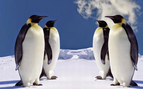 wallpaper-pinguine