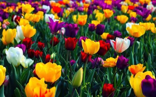 fruehling-2015-tulpen