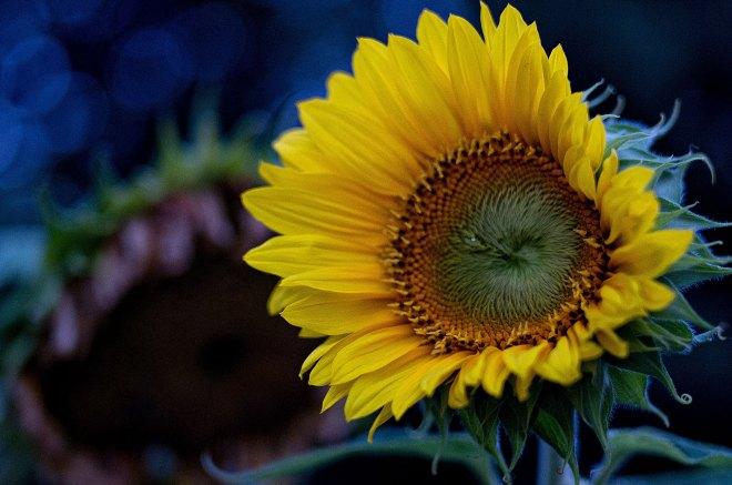 Sonnenblume im August. Foto: Hufner