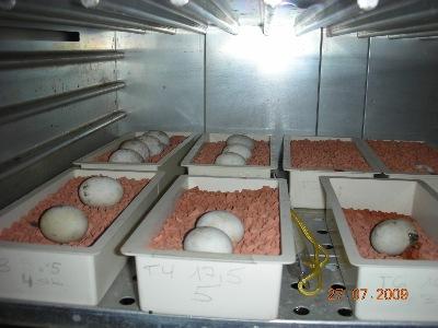 Inkubator mit Gelegen