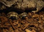 Villa Amanda griechische Landschildkröten Babys verstecken sich